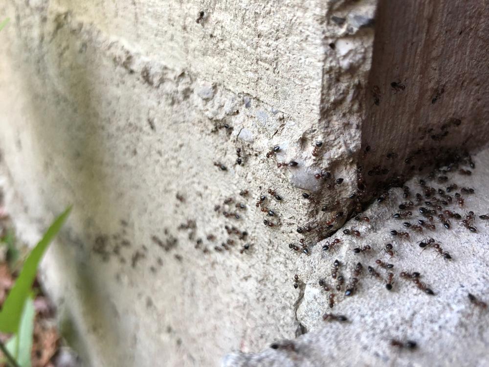 Schädlingbekämpfung Ameisen