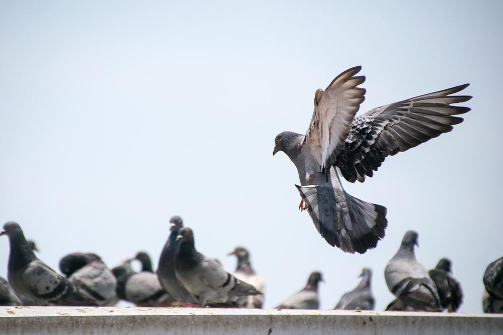 Schädlingsbekämpfung Tauben